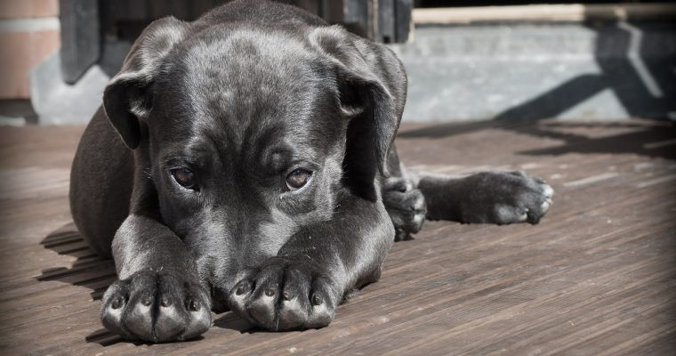 What To Know About Pit Bull Puppies
